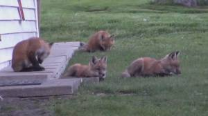 Fences go up around Toronto's Boardwalk to keep fox family safe