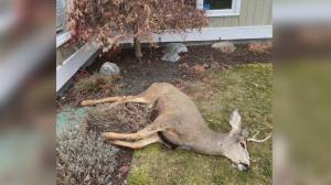 Dead deer found in Kelowna neighbourhood (02:14)