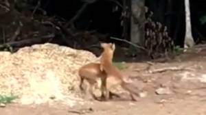 Ontario resident captures cute video of foxes wrestling