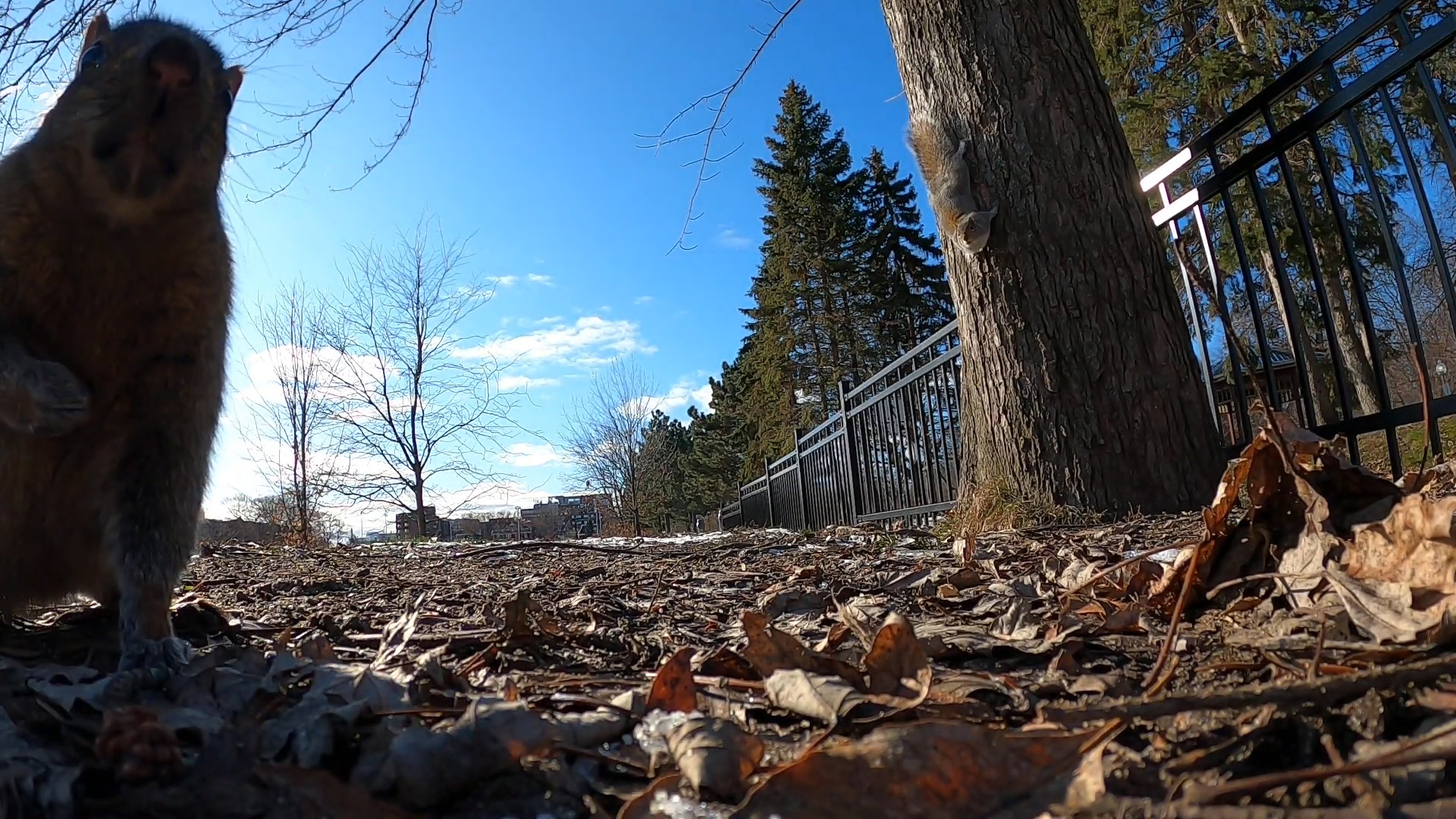 Squirrel takes GoPro camera for ride up tree in Montreal