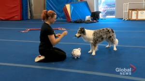 COVID-19: training during pandemic leads 'awesome' dog to 5 world records (01:52)