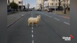 Mountain goats spotted on the streets of Llandudno, Wales