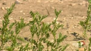 Precipitation forecast for Saskatchewan no match for drought (01:48)