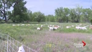 Goats return to Alexander Wilderness Park in Lethbridge to graze invasive weeds