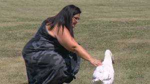 Pet goose that survived fox attack now internet hero, Moose Jaw mayoral candidate