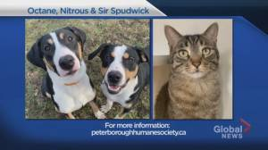Global Peterborough's Shelter Pet Project Nov. 29 – Octane, Nitrous and Sir Spudwick (01:52)