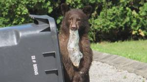 District of North Vancouver looking at tougher 'bear aware' fines (01:49)
