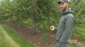 N.B. orchard hopes to salvage apples impacted by Dorian