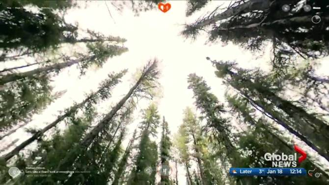 Click to play video: Alberta forest group snags actor Nathan Fillion as host of virtual outdoor tour