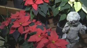 St. Mary's Nursery & Garden Centre: Holiday Plants
