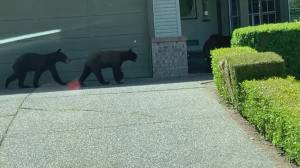 Family of bears spotted wandering residential Surrey neighbourhood (00:35)