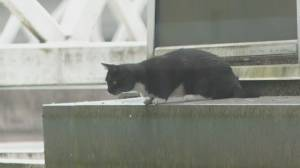 Cat rescue operation from SkyTrain station roof goes sideways