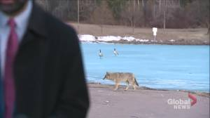 Caught on camera: bold coyote photobombs Global Edmonton reporter Vinesh Pratap (01:04)