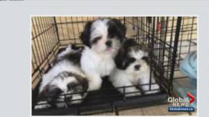 Calgary couple warns others about alleged online puppy scam (02:15)