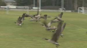 Capital Regional District may battle Canada geese
