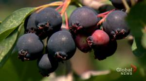 After struggling through heat wave, Calgary-area farm welcomes berry pickers (01:26)