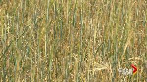 Drought conditions impacting cattle prices across the Prairies (02:18)