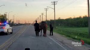 Police corral runaway horses found wandering on Winnipeg roadway