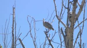 Vernon council to reconsider protection for heronry