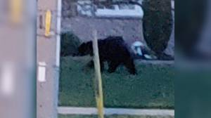 Black bear sightings in Peterborough's West End (02:17)