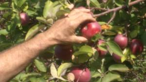 A look at apple season and the impact weather had on it (02:25)