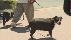 Brampton man surrenders dogs to animal services after woman bit