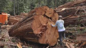Conservationists attack NDP government over old-growth logging