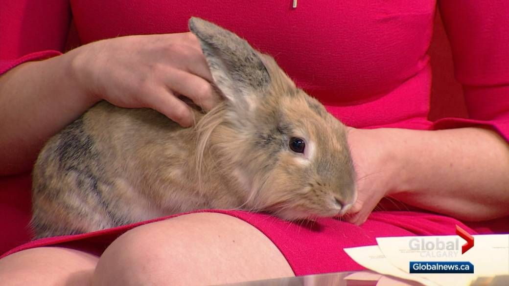 Animal rescue seeks homes for 5 bunnies whose mom survived being shot with arrow in Calgary
