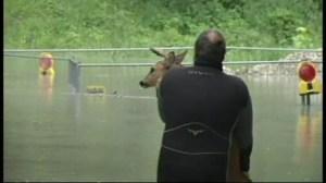 Raw video: Deer rescued in flood