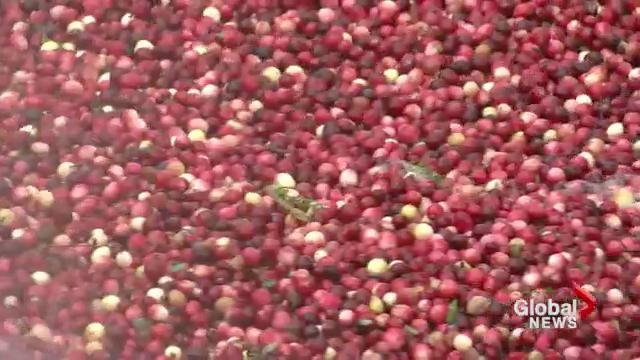 This year's cranberry crop expected to be the largest in B ...