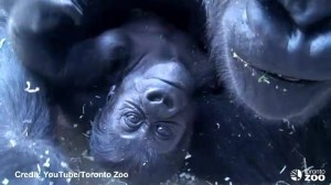 Meet new baby gorilla at Toronto Zoo