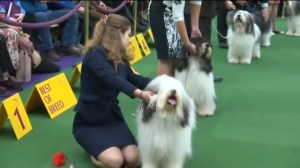 Best in breeds ready to show at Westminster Kennel Club show