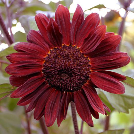 velvet queen sunflower grows