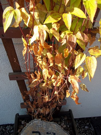 Hi all could any one please tell me why my clematis seems