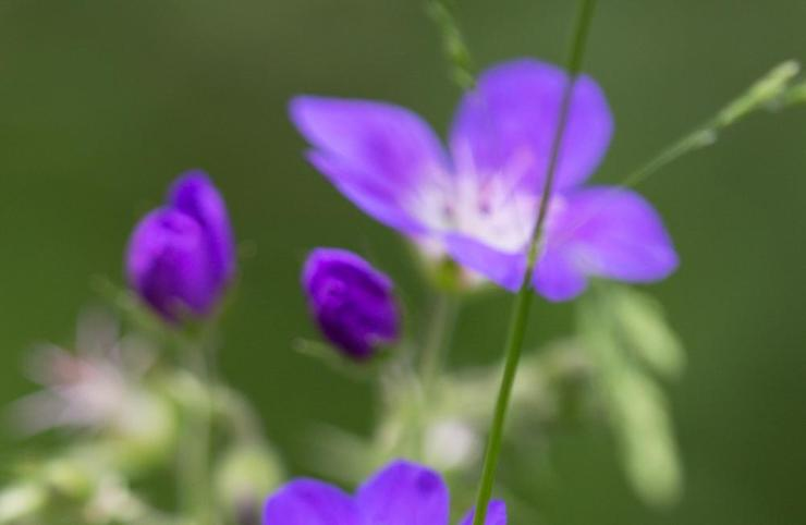 Geranium nodosum.