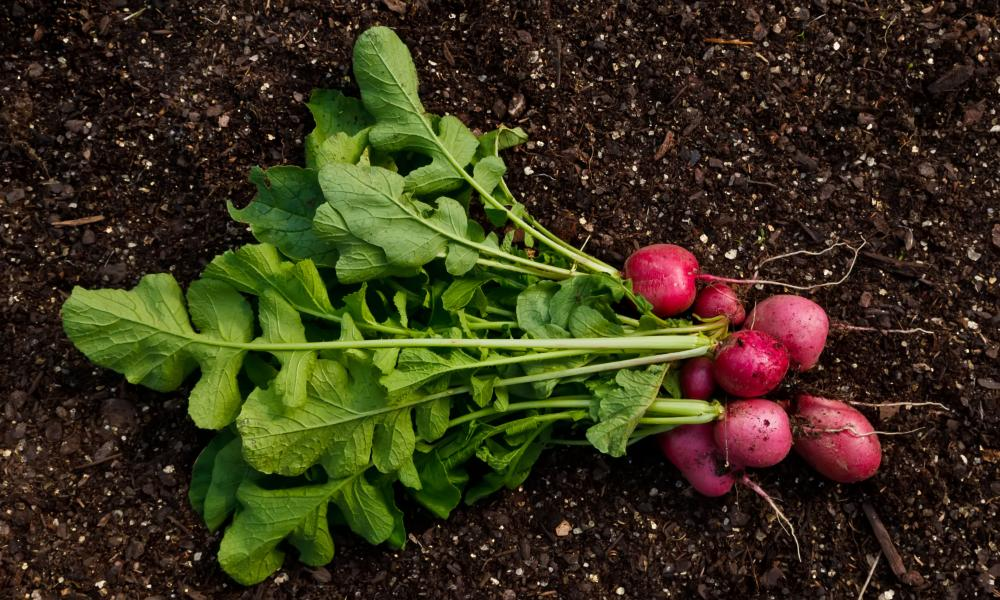 A handful of beautiful, organically-grown, freshly picked Pink Beauty Radishes.