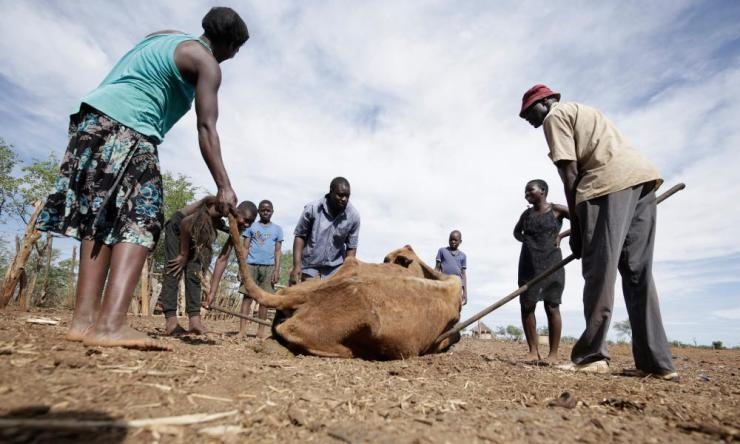Family members use a bar to lift their emaciated cow at a village in Mwenezi more than 500 km out of Harare, Zimbabwe, 18 January 2020. Due to a severe drought, the family has lost 12 of the 23 cattle they had.