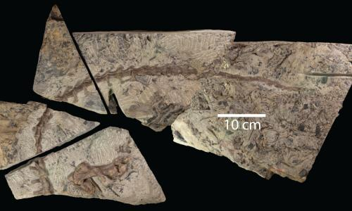 Fossil of Diluvicursor Pickeringi dinosaur discovered in south-west Victoria.