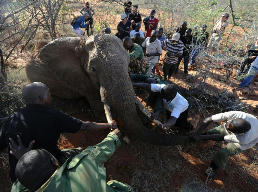 Experts from Kenya Wildlife Services and Save the Elephants reposition one of the 10 elephants chosen to be sedated and fitted with radio collars near the route of the Standard Gauge Railway in Tsavo East National Park.