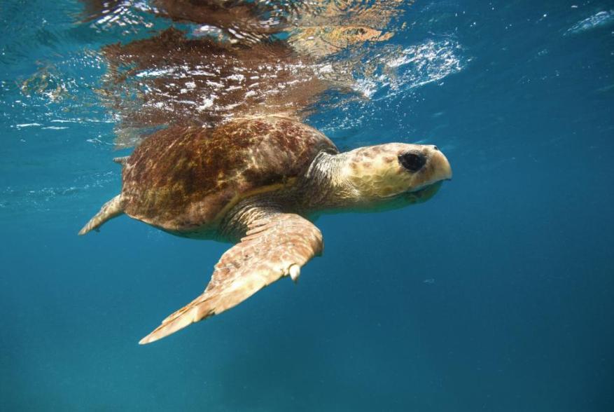 A loggerhead turtle under water
