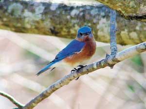 A bluebird checks out Karen Beatty's yard in Hunt Club Forest, Virginia Beach