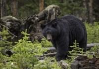 جستجو به دنبال خرس سرگردان اینبار در نورث شور