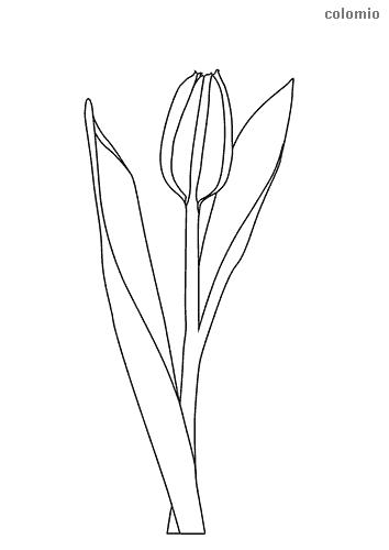 Tulpe ausmalbild