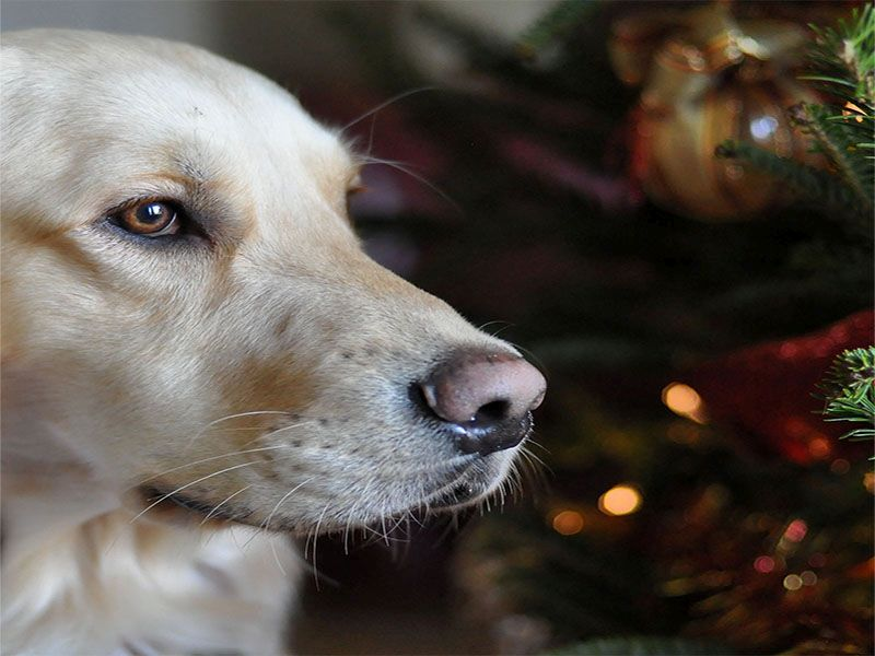 News Picture: Holiday Chocolates No Treat for Dogs