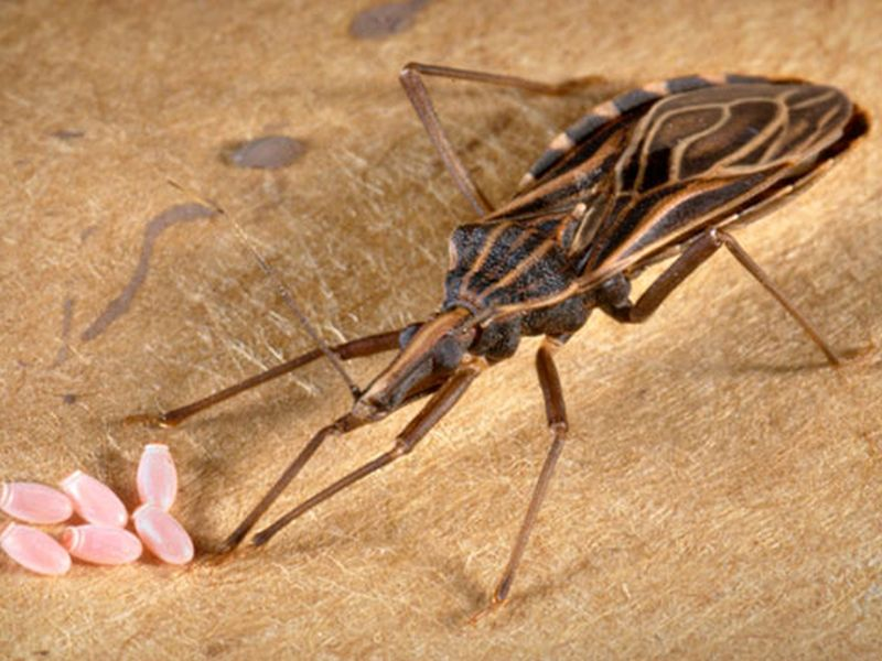 News Picture: Illness From 'Kissing Bug' Now Widespread in U.S.