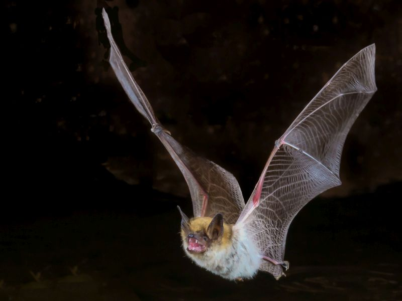 News Picture: Looking to Bats for Clues to Longevity