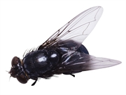 News Picture: Houseflies: Just How Bad Are They for Your Health?