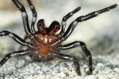 Funnel web spider ready to strike.