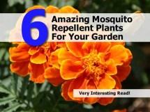 Mosquito Repellent Plants Garden