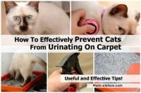 How To Effectively Prevent Cats From Urinating On Carpet